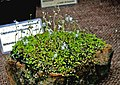 Utricularia sandersoni 1.jpg