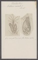 Valkeria cuscuta - - Print - Iconographia Zoologica - Special Collections University of Amsterdam - UBAINV0274 093 13 0006.tif