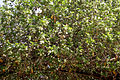 Vallaris solanacea (Vish Vallari) in Hyderabad W IMG 8240.jpg