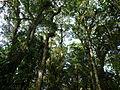 Vegetación de la Reserva de la Biosfera La Amistad Panama (RBLAP) 36.JPG