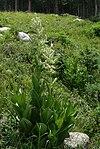 Veratrum californicum habitus1.jpg