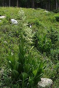 Veratrum californicum habitus1