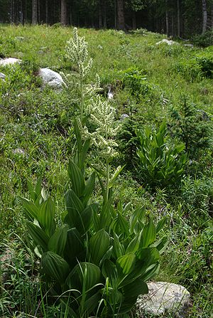 Melanthiaceae - Birth defects in sheep grazing on Veratrum californicum provided key insights into developmental biology in the 20th century