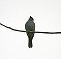 Verditer Flycatcher (Eumyias thalassina) W IMG 5253.jpg
