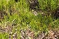 Veronica hectorii ssp. coarctata in Christchurch Botanic Gardens 02.jpg