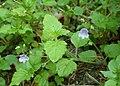 Veronica montana kz10.jpg