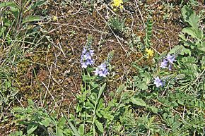 Description de l'image  Image:Veronica prostrata Beroun.jpg .