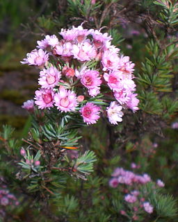 <i>Verticordia</i> genus of plants