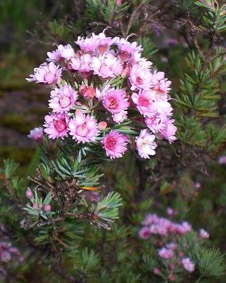 Verticordia - V. plumosa growing on Mount Melville