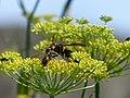 Vespa velutina nigrithorax, Josselin, France 06.jpg