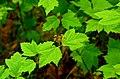 Viburnum acerifolium (9604944384).jpg