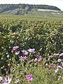 Vigne Pinot Noir (Cerseuil) Cl.J.Weber11 (23050682083).jpg