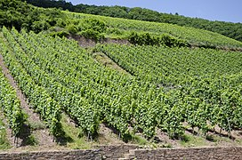 Vineyards Urzig jun 2018 (1).jpg