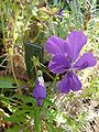 Viola dubayana 838.JPG