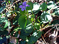 Viola riviniana Habitus2 SierraMadrona.jpg