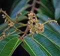 Virola surinamensis (Wild nutmeg) Paramin Trinidad 2.jpg