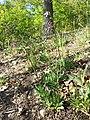 Viscaria vulgaris sl29.jpg
