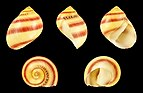 Vittina waigiensis 01.JPG