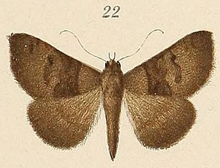 <i>Amyna</i> genus of insects