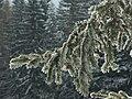 Von Schnee und Reif bedeckter Ast eines Nadelbaumes.jpg