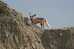 Vulpes vulpes arabica 002.jpg
