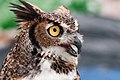 WR - Great Horned Owl 5 (5761940314).jpg