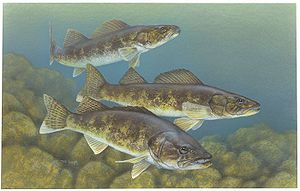 Walleye - Image: Walleye painting