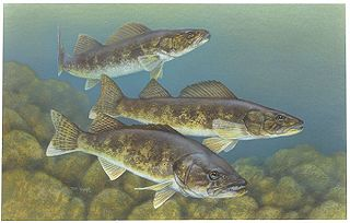 Walleye species of fish