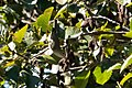 Warbling Vireo Muddy Hollow Marin CA 2018-09-24 10-58-27 (43905306040).jpg