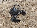 Weak scorpion.jpg