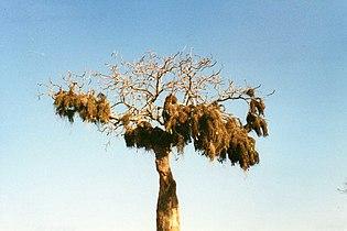 Weaver bird nests at Ifaty (3445328641)