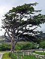Westerly wind, hardy roadside tree Inchnadamph. - panoramio.jpg