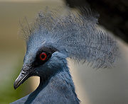 The Western Crowned Pigeon is native to New Guinea.