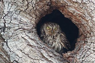 Western screech owl - Image: Western Screech Owl In Hole
