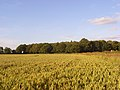 Wheat, Hampstead Norreys - geograph.org.uk - 876266.jpg