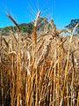 Wheat Stalks from a Wheatfield on the Bellarine Peninsula - Victoria, Australia.jpg