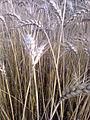 Wheat fields 02.jpg