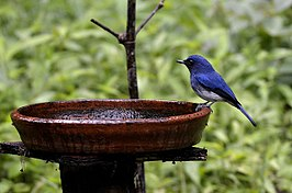 White-bellied blue flycatcher male, Ganeshgudi, India.jpg