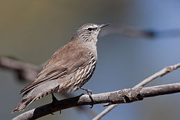 White-browed Treecreeper (7141277955).jpg