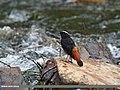 White-capped Redstart (Chaimarrornis leucocephalus) (28781601310).jpg