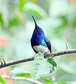 White-necked Jacobin (6901565496).jpg
