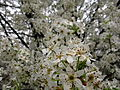 White-pear-flowering-tree - West Virginia - ForestWander.jpg