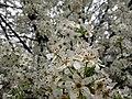 White-pear-flowering-tree - West Virginia - ForestWander.jpg