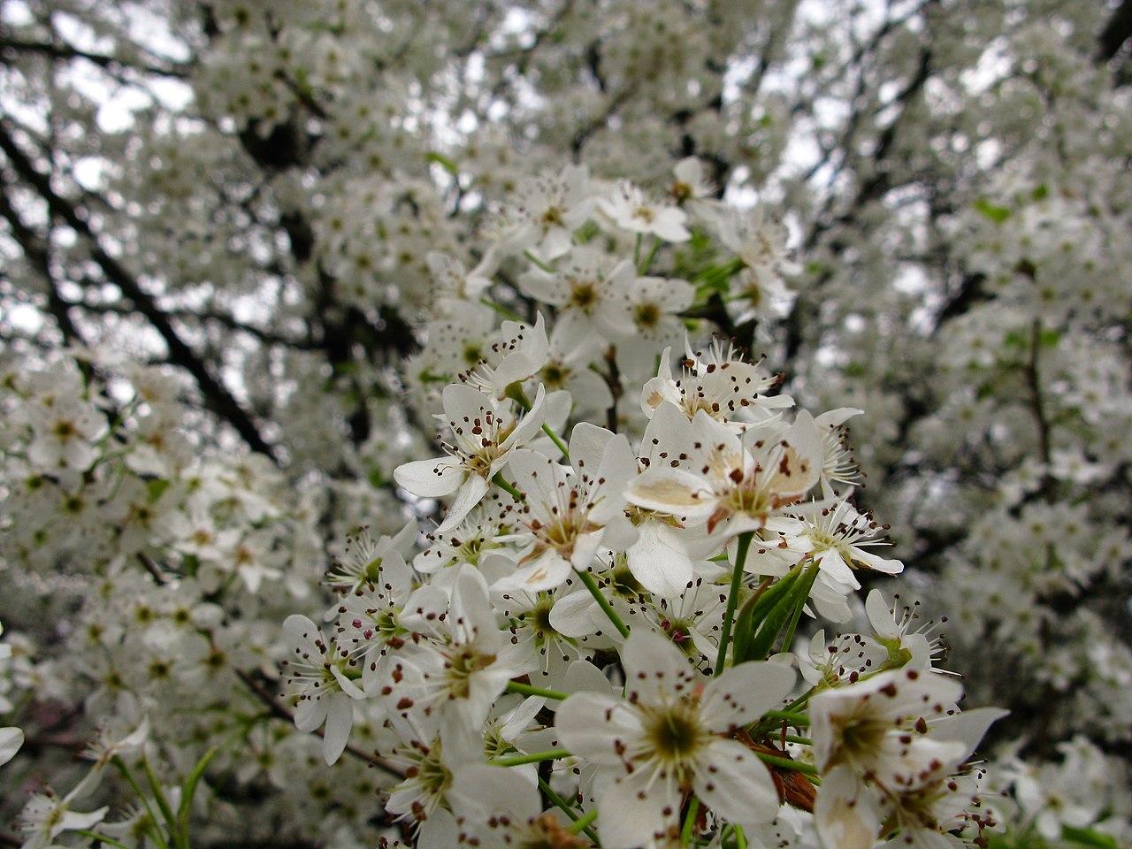 File White pear flowering tree West Virginia ForestWander Wikimedia