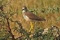 White-tailed Lapwing Vanellus leucurus by Dr. Raju Kasambe DSCN7098 (3).jpg