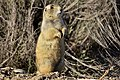 White-tailed prairie dog on Seedskadee National Wildlife Refuge (33516864853).jpg