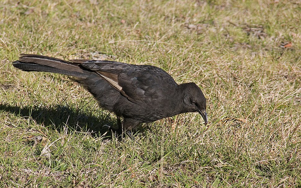 White-winged Chough1