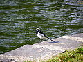 White Wagtail in Taipei Dahu Park Lakeside.jpg
