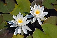 White Waterlily.jpg