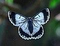 White looper moth (ventral crop).jpg